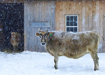 Cow barns are great for winter