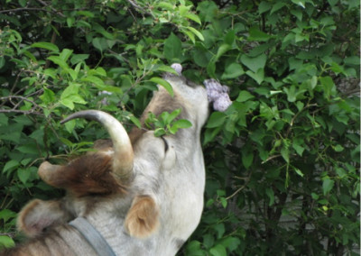 Gopi smelling lilacs; maybe eating a few too !