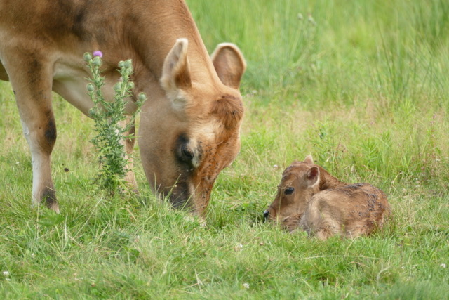 Celebrating the Birth of a New Calf